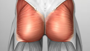 Gluteus maximus muscles